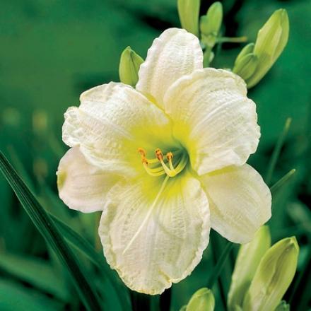 Daylily, White