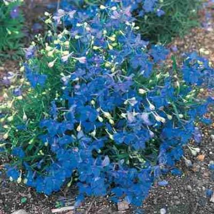 Delphinium, Blue Butterfly