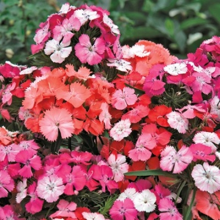 Dianthus, Novena Clown