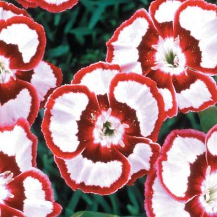 Dianthus 'raspberry Swirl'