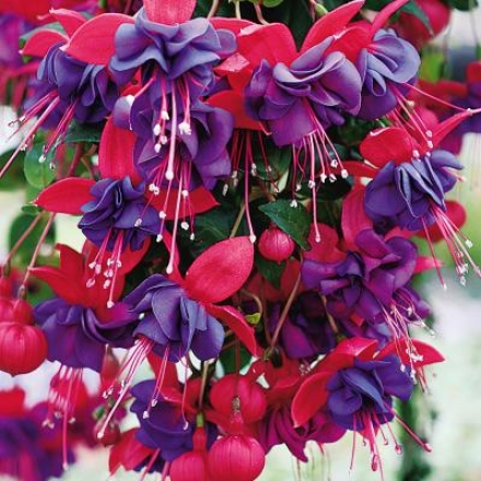 Double Purple Fuchsia