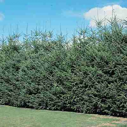 Douglaas-fir Hedge