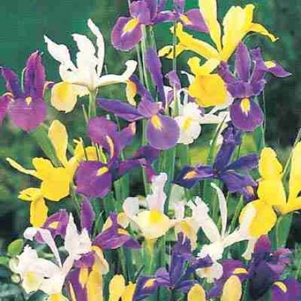 D8tch Iris