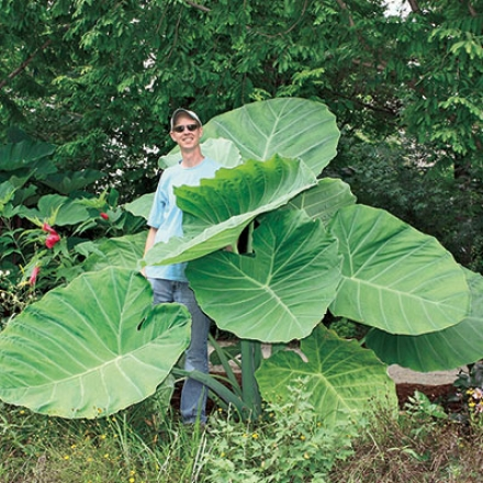 Elephant Ear, Thailand Giant