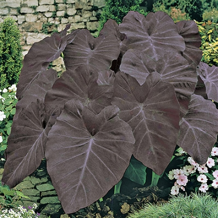 Elephant Ears, Black Magic