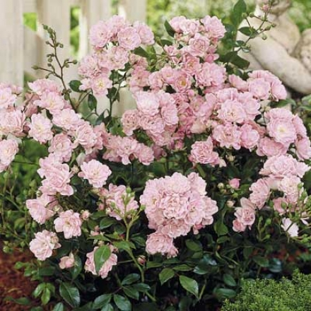 Fairy Pknk Cushion Rose
