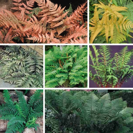 Fern Accumulation, Faforite