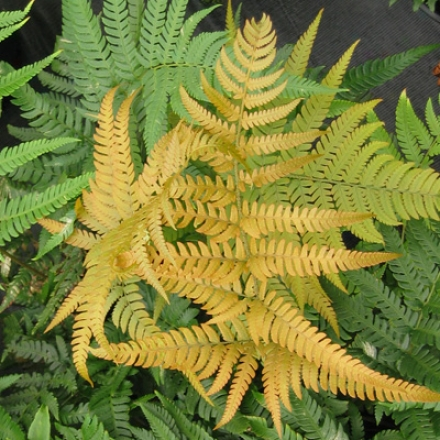 Fern, Golden Mist