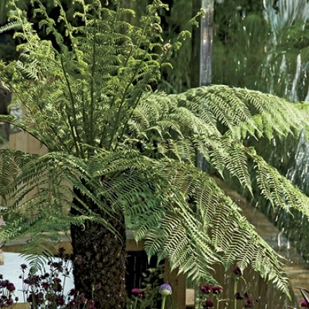 Fern, Tasmanian Tree