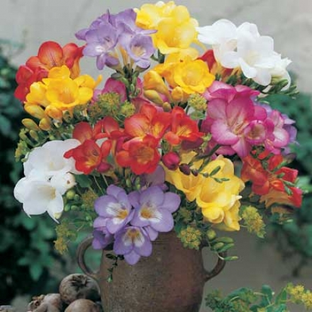 Freesia, Mixed