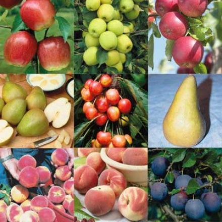 Fruit Tree Collection, Superior