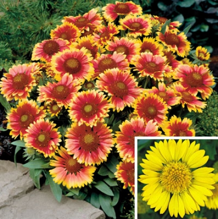 Gaillardia Collection
