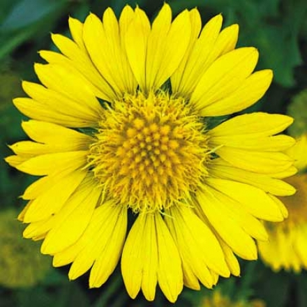 Gaillardia, Yellow
