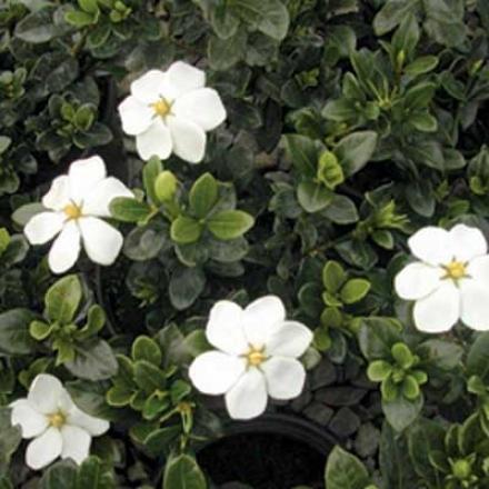 Gardenia, Kleim's Bold
