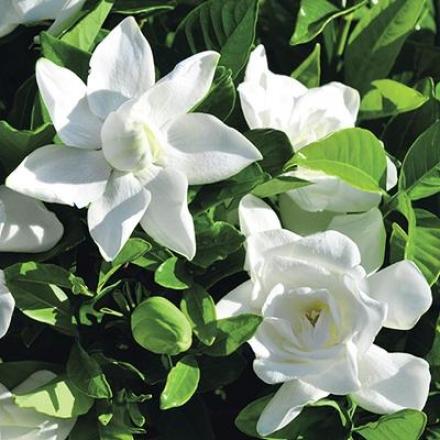 Gardenia, Summer Snow�