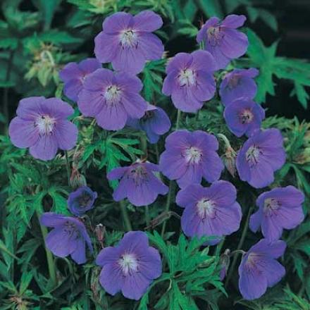 Geranium, Hardy Blue