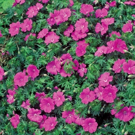 Geranium, Hardy Pink