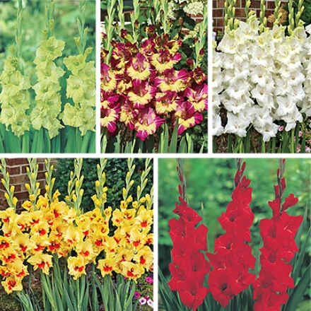 Gladiolus Collection, Colorful
