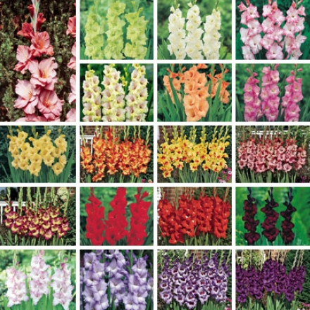 Gladiolus Collection, Complete