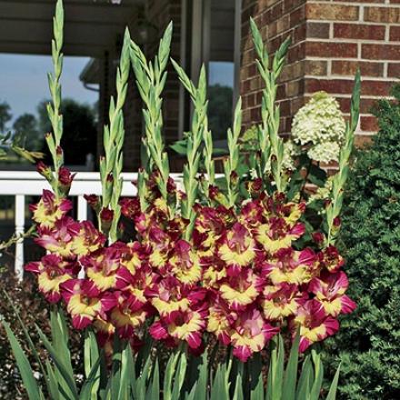 Gladiolus, Dynamite Ii