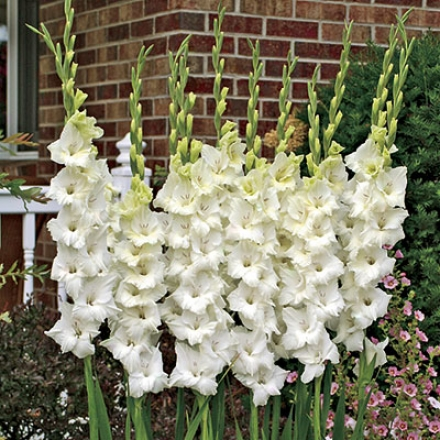 Gladiolus, Frosty White