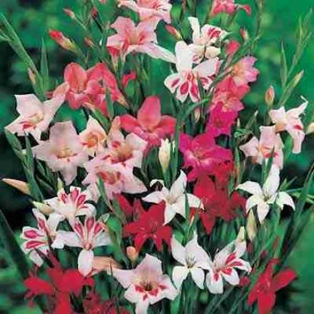 Gladiolus Mix, Hardy