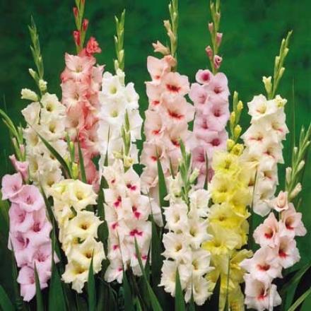 Gladiolus Mix, Pastel