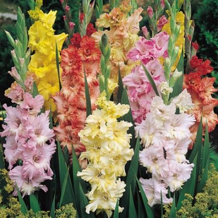 Gladiolus Union, Ruffled Pastel