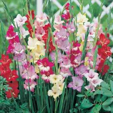 Gladiolus, Orchid Hardy