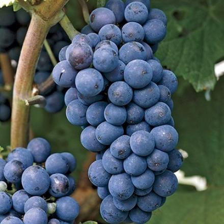 Grape, Concord