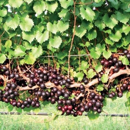 Grape, Muscadine