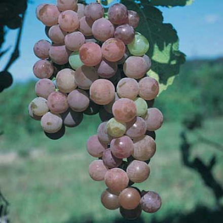 Grape, Seedless Canadice