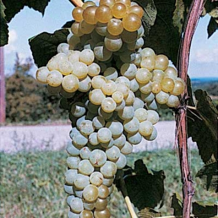 Grape, Seedless Marquis