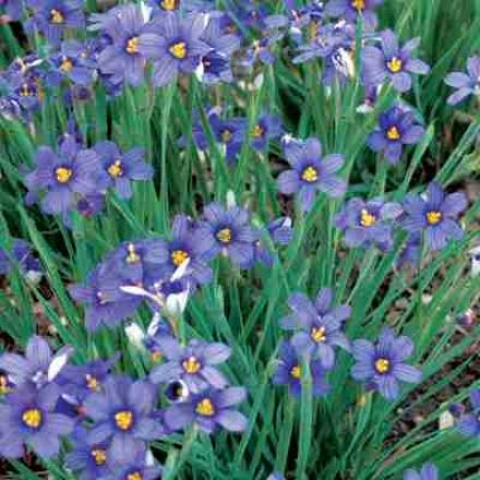 Grass, Blue-eyed