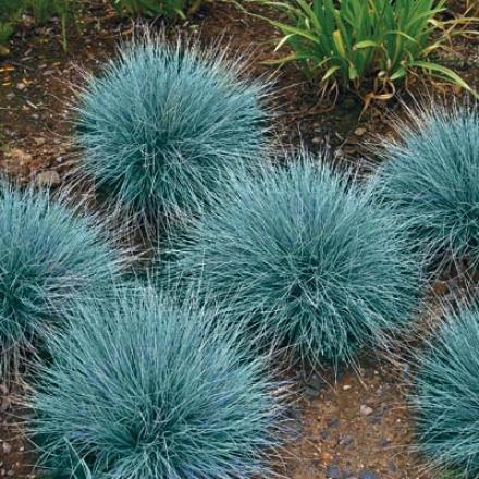 Grass, Blue Festuca