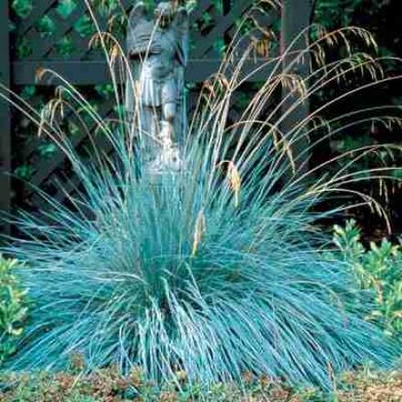 Grass, Blue Oat