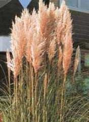 Grass, Pampas Pink