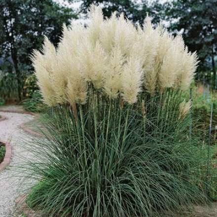 Grass, Pampas White