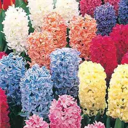 Hardy Hyacinth