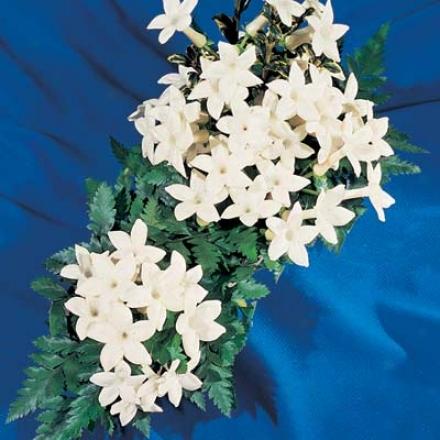 Hawaiian Wedding Plant