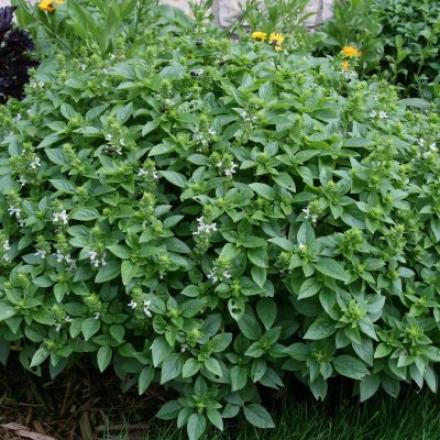 Herb, Basil Sweet