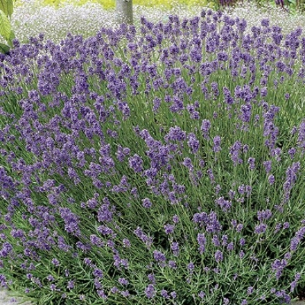 Herb, Lavender (vera)