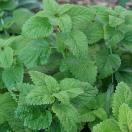 Herb, Peppermint