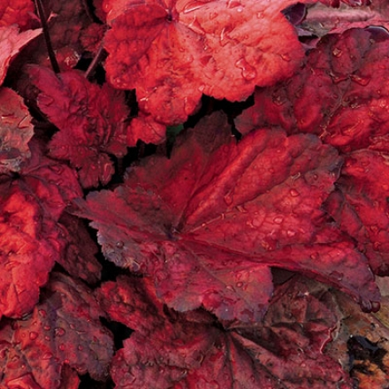 Heuchera, Autumn Leaves