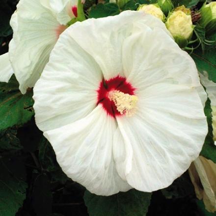 Hibiscus, Old Yella