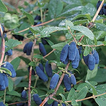Honeyberry, Blue Moontm