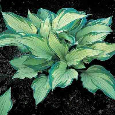 Hosta, Golden Green