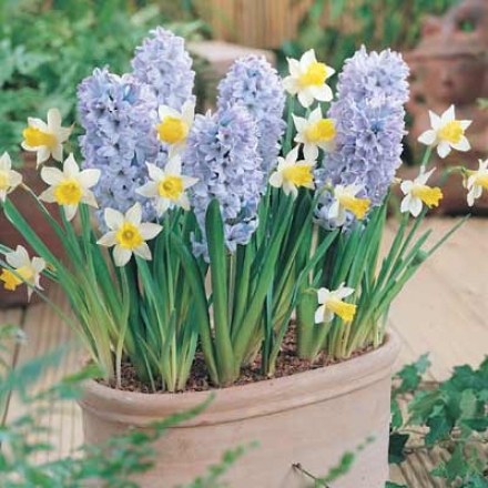 Hyacinth, Blue Ice