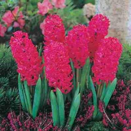 Hyacinth, Jan Bos