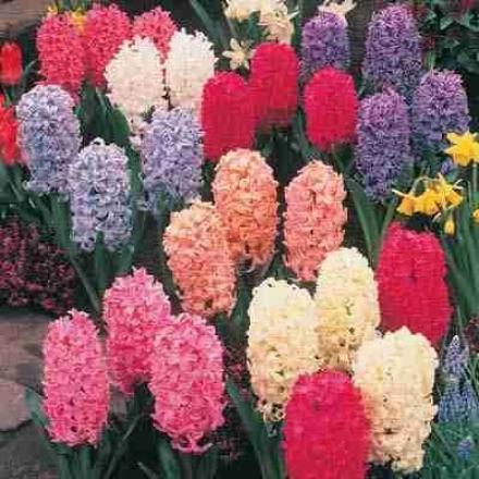 Hyacinths, Large Exhibition-size